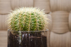 Close up of a round cactus Royalty Free Stock Images