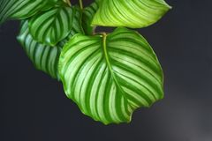 Close up of round leaf with stripes of an exotic `Calathea Orbifolia Prayer Plant` houseplant on black background