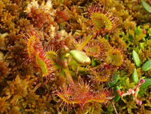 Close-up of round-leaved sundew Stock Photos