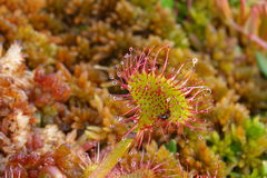 Close-up of round-leaved sundew Stock Images