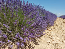A close-up of a row of Lavender plants, Provence, France. A close-up of a row of violet Lavender plants in Valensole, Provence, France Royalty Free Stock Photos