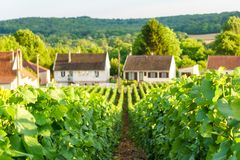 Close up row vine green grape in champagne vineyards at montagne de reims on countryside village background. France stock photos
