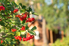 Close-up of rowan Stock Images