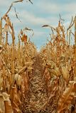 Close up between rows of maize for harvesting. With dried leaves and corncobs in an agricultural field Stock Photography