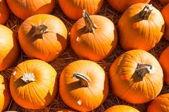 Rows of Pumpkins Ready for Sale at  a Pumpkin Patch. Close-up of rows of pumpkins ready for sale at a pumpkin patch in autumn Stock Photos