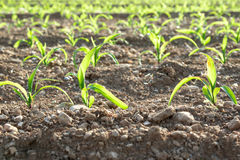 Close-up of rows of small corn plants from organic farming in Italy. Rows of small corn plants from organic farming in Italy in spring Stock Images