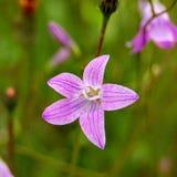 Close-up roxo bonito da flor imagem de stock royalty free