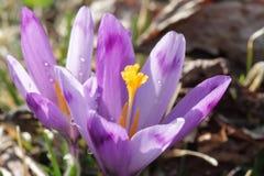 Close up roxo bonito do macro do açafrão Foto de Stock Royalty Free