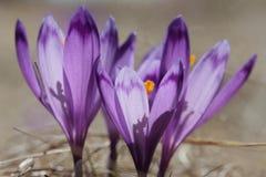 Close up roxo bonito do macro do açafrão Imagem de Stock Royalty Free