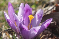 Close up roxo bonito do macro do açafrão Imagens de Stock Royalty Free