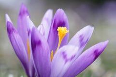 Close up roxo bonito do macro do açafrão Fotografia de Stock