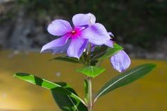 Close up roxo da flor Fotos de Stock