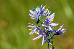 Close up roxo de Camas Fotos de Stock Royalty Free