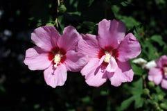 Close-up roxo de duas flores do hibiscus Fotos de Stock