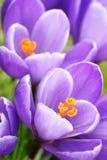 Close up roxo dos açafrões Imagem de Stock Royalty Free