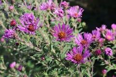 Close-up roxo dos wildflowers imagens de stock