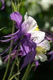Close-up roxo e branco de Columbine imagem de stock