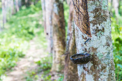 Close up of rubber tree Royalty Free Stock Images