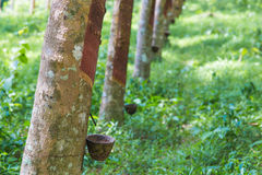 Close up of rubber tree Stock Image