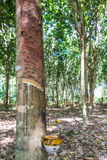 Close up of rubber tree Royalty Free Stock Photo