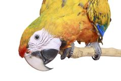 Close-up of  Ruby Macaw Parrot Stock Image