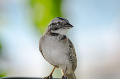 Close up of a rufous collared sparrow perched Royalty Free Stock Image