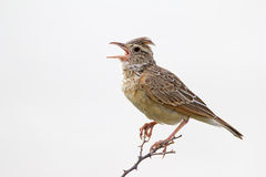 Close-up of Rufous-naped lark Royalty Free Stock Photography