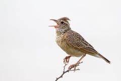 Close-up of Rufous-naped lark. Mirafra africana royalty free stock photography