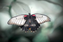 Close up of Rumanzovia Swallowtail butterfly Royalty Free Stock Images
