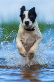 Close up running puppy of mongrel over water. Vertical outdoors image. Front view royalty free stock images