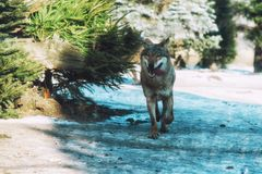 Close up on running wolf in the forest Royalty Free Stock Photo
