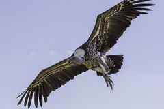 Close-up Ruppells griffon vulture in flight from below Stock Photography