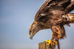 Close up of  Russian Steppe Eagle Royalty Free Stock Images