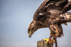 Close up of  Russian Steppe Eagle Royalty Free Stock Photography