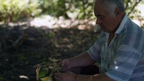 Close-up, Old Man Gathering Asparagus Harvest. Close-up, Rustic Old Man Gathering Asparagus Harvest stock video footage