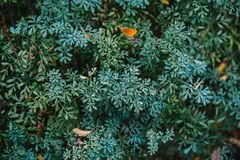 Close up on ruta graveolens plant, top view Royalty Free Stock Images