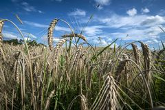 Close up of rye field Royalty Free Stock Images