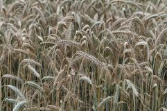 Close-up of maturing awns in the rye field stock photos