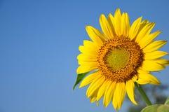Close-up słonecznik Zdjęcia Stock