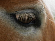 Close-up of sad horse's eye. Horse's brown eye with long eyelashes in close-up royalty free stock images