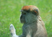 Close up of a sad looking hairy monkey's head. This picture shows you a close up of a monkey's head. This hairy monkey was sitting in the sun and relaxing royalty free stock images