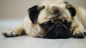 Close-up sad pug dog lies on the floor, falls asleep and looking at camera