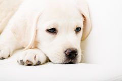 Close up of sad puppy on the sofa Stock Image