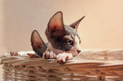 Close up Sad Sphynx Kitten Inside the Basket Stock Photo