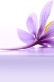 Close up of saffron flower Royalty Free Stock Image