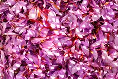 Close up of saffron flowers background Stock Images