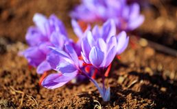 Close up of saffron flowers in a field at autumn Stock Photos