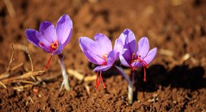 Close up of saffron flowers in a field at autumn Royalty Free Stock Photography