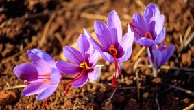 Close up of saffron flowers in a field at autumn Royalty Free Stock Image