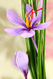 Close up of saffron flowers Stock Images